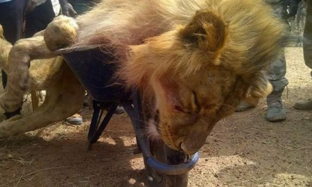 Lion-killed-Jos-zoo