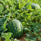 Water-melons2 (1)